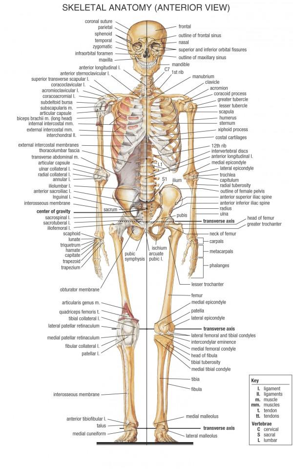 skeletal_system_front
